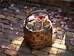 Shiba Inu Puppy and Kitten in Basket on Walkway in Autumn    Stock Photo - Premium Rights-Managed, Artist: Alison Barnes Martin, Code: 700-00073408