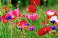 Poppies and Cornflowers in Field    Stock Photo - Premium Rights-Managednull, Code: 700-00075424