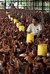 Chicken and Egg Production at The Ideal Multifeed Farm Brunei Darussalam    Stock Photo - Premium Rights-Managed, Artist: R. Ian Lloyd, Code: 700-00080109