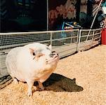 Portrait of Hog in Pen    Stock Photo - Premium Rights-Managed, Artist: Tom Feiler, Code: 700-00084988