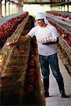 Man Gathering Eggs at Chicken Farm Brunei Darussalam    Stock Photo - Premium Rights-Managed, Artist: R. Ian Lloyd, Code: 700-00086943