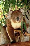 Koala Bear    Stock Photo - Premium Rights-Managed, Artist: R. Ian Lloyd, Code: 700-00096468