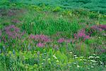 Wildflowers near Tignish Prince Edward Island, Canada    Stock Photo - Premium Rights-Managed, Artist: Daryl Benson, Code: 700-00099575