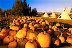 Pumpkin Patch and Teepees    Stock Photo - Premium Rights-Managed, Artist: Andrew Wenzel, Code: 700-00099861