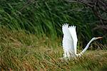 Great Egret Taking Off    Stock Photo - Premium Rights-Managed, Artist: Pierre Arsenault, Code: 700-00151804