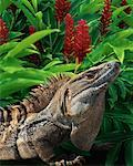 Close-Up of Iguana    Stock Photo - Premium Rights-Managed, Artist: Peter Christopher, Code: 700-00160044