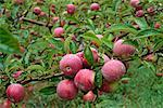 Empire Apples    Stock Photo - Premium Rights-Managed, Artist: Peter Griffith, Code: 700-00161996