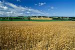 Wheat Field    Stock Photo - Premium Rights-Managed, Artist: Roland Weber, Code: 700-00162013