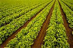 Lettuce Field Salinas Valley, California, USA