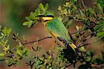 Little Bee-Eater Duma Tau, Botswana, Africa    Stock Photo - Premium Rights-Managed, Artist: Jeremy Woodhouse, Code: 700-00162724
