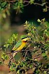 Little Bee-Eater Duma Tau, Botswana, Africa    Stock Photo - Premium Rights-Managed, Artist: Jeremy Woodhouse, Code: 700-00162725