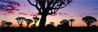 Quiver Trees at Sunset Keetmanshoop, Namibia    Stock Photo - Premium Rights-Managednull, Code: 700-00162825