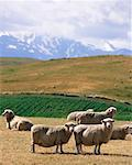 Sheep Farm    Stock Photo - Premium Rights-Managed, Artist: dk & dennie cody, Code: 700-00164093