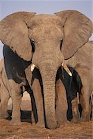Close-Up of Elephant Bull    Stock Photo - Premium Rights-Managednull, Code: 700-00164923