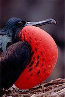 Displaying Frigate Bird    Stock Photo - Premium Rights-Managednull, Code: 700-00164971