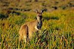 Kangaroo    Stock Photo - Premium Rights-Managed, Artist: Jeremy Woodhouse, Code: 700-00164980