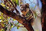Koala    Stock Photo - Premium Rights-Managed, Artist: Jeremy Woodhouse, Code: 700-00164983