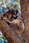 Koala and Young