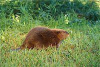 Beaver    Stock Photo - Premium Rights-Managednull, Code: 700-00165434