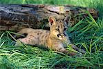 Cougar Kitten    Stock Photo - Premium Rights-Managed, Artist: Gloria H. Chomica, Code: 700-00165439
