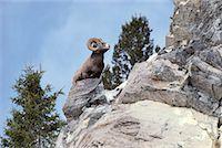 ram (animal) - Bighorn Sheep    Stock Photo - Premium Rights-Managednull, Code: 700-00166856