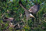 White-Tailed Hawk Landing on Nest