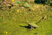 Painted Turtle    Stock Photo - Premium Rights-Managednull, Code: 700-00168844