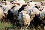 Group of Sheep    Stock Photo - Premium Rights-Managed, Artist: Jean-Yves Bruel, Code: 700-00168851