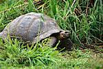 Giant Tortoise Galapagos Islands, Equador    Stock Photo - Premium Rights-Managed, Artist: Greg Stott, Code: 700-00169089