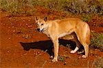 Dingo    Stock Photo - Premium Rights-Managed, Artist: R. Ian Lloyd, Code: 700-00169126
