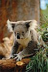 Koala Bear Taronga Zoo Sydney, Australia    Stock Photo - Premium Rights-Managed, Artist: R. Ian Lloyd, Code: 700-00169128
