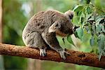 Koala Bear Taronga Zoo Sydney, Australia