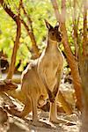 Kangaroo    Stock Photo - Premium Rights-Managed, Artist: R. Ian Lloyd, Code: 700-00169130