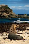 Rear-View of Sea Lion