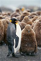 Mother and Young King Penguin Gold Harbour, South Georgia Island, Antarctica    Stock Photo - Premium Rights-Managednull, Code: 700-00169164