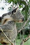 Koala Bear, Australia    Stock Photo - Premium Rights-Managed, Artist: Greg Stott, Code: 700-00169224