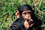 Baby Chimpanzee    Stock Photo - Premium Rights-Managed, Artist: Gloria H. Chomica, Code: 700-00169234