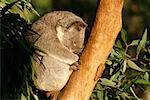 Sleeping Koala    Stock Photo - Premium Rights-Managed, Artist: Gloria H. Chomica, Code: 700-00169240