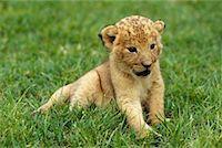 Lion Cub    Stock Photo - Premium Rights-Managednull, Code: 700-00169248