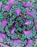 Abstract Cabbage Arrangement    Stock Photo - Premium Rights-Managed, Artist: Carl Warner, Code: 700-00170044