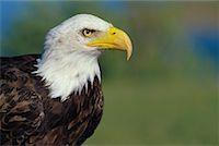 Bald Eagle    Stock Photo - Premium Rights-Managednull, Code: 700-00170288