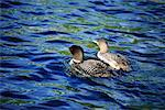 Loons in Water    Stock Photo - Premium Rights-Managed, Artist: Greg Stott, Code: 700-00170375
