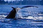 Tail of Humpback Whale Frederick Sound, Alaska, USA    Stock Photo - Premium Rights-Managed, Artist: Dale Sanders, Code: 700-00170463