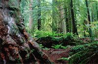 peter griffith - Redwood Forest, Redwood Forest National Park, California, USA    Stock Photo - Premium Royalty-Freenull, Code: 600-00170974