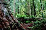 Redwood Forest, Redwood Forest National Park, California, USA