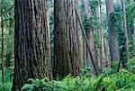 Redwoods, Jedidiah Smith State Park, California, USA