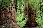 Temperate Rainforest, Olympic National Park, Washington State, USA