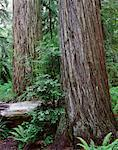 Redwood Forest, Jedidiah Smith State Park, California, USA