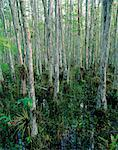 Cypress Trees and Bromeliads, Corkscrew Swamp Sanctuary, Florida Everglades, USA