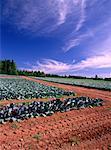 Cabbage Fields near Wheatley River, Prince Edward Island, Canada